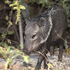 Orphaned Javelina that was raised at Chappari Reserve, Chiclayo, Peru