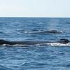 Humpback Whale (Megaptera novaeangliae) Cabo San Lucas, Mexico