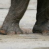 Indian Elephant feet_SS2728