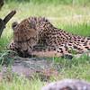 Cheeta_SS4304
