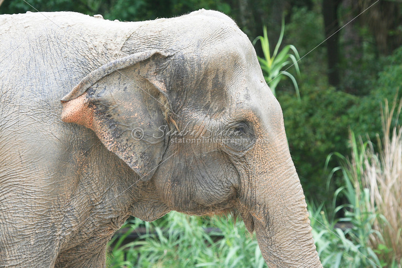 Indian Elephant_SS2707