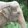 Indian Elephant_SS2707