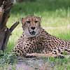Cheeta_SS4310