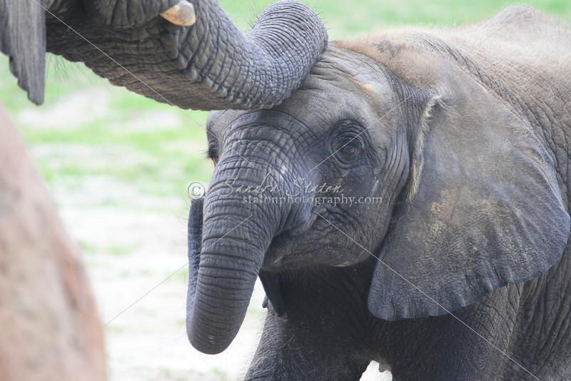 African Elephants_SS4238