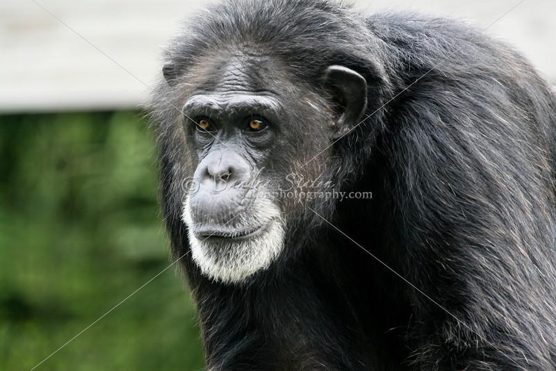 Gorilla_SS3979