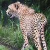 Cheeta_SS4298