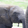 Elephant face_SS4253