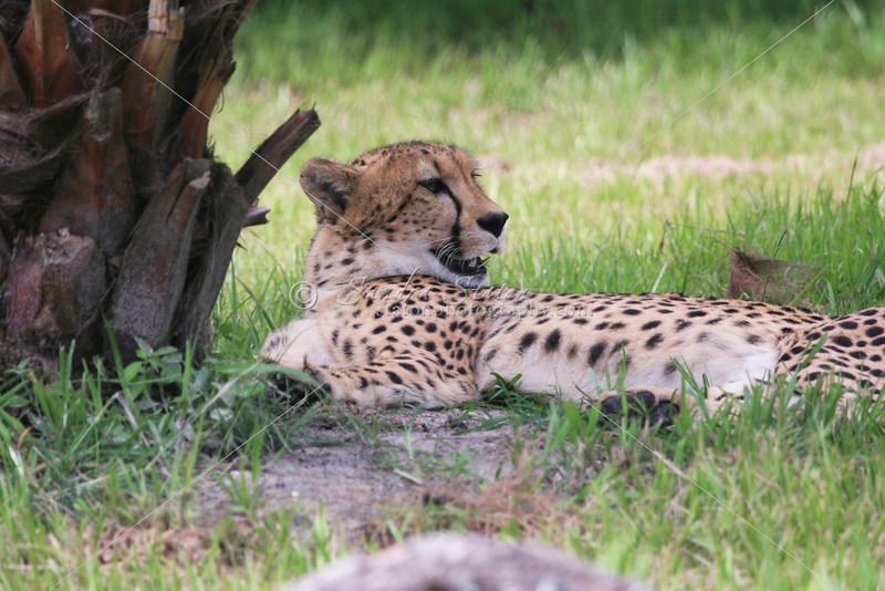 Cheeta_SS4290