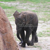 Baby Elephant_SS4242