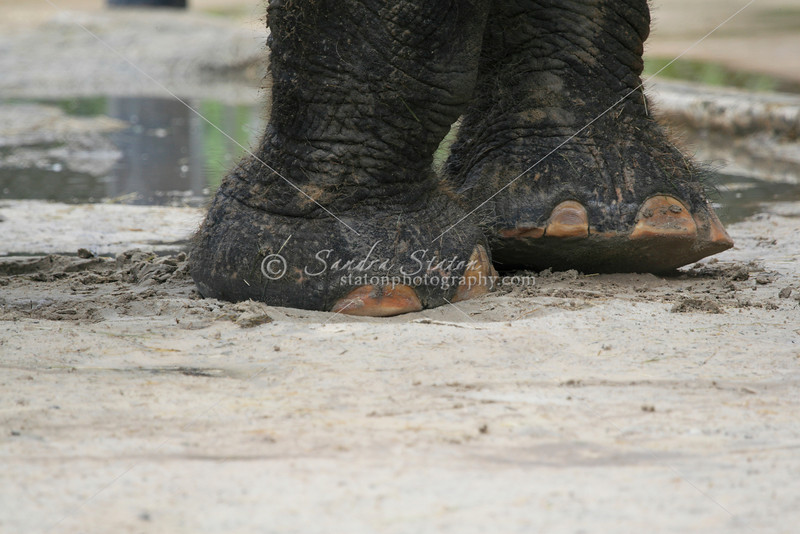 Indian Elephant feet_SS2723