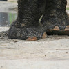 Indian Elephant feet_SS2723