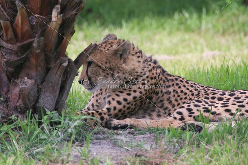 Cheeta_SS4305