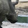 Rhino_SS4233