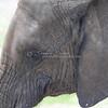Elephant face_SS4254