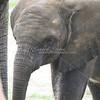 African Elephants_SS4237