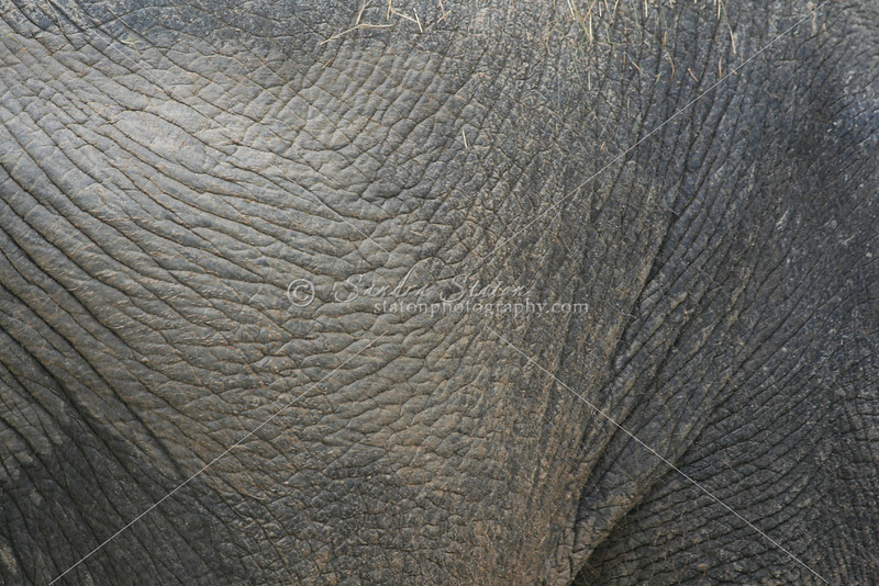 Hide of an Indian Elephant