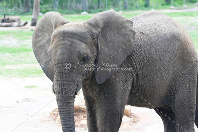 African Elephants_SS4255