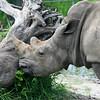 Rhino_SS4234