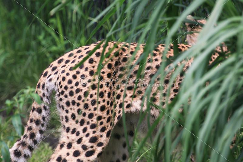 Cheeta_SS4297