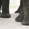 Elephant feet_SS4246