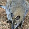 Young Kangaroo_SS4098