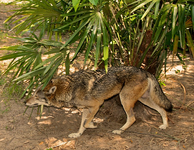 Red Wolf (Canis lupus rufus) at the Jacksonville Zoo and Gardens.