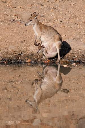 Agile Wallaby, Musgrave, QLD, Dec 2009