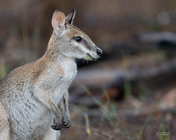 Agile Wallaby, Hidden Valley, QLD, Jan 2020-1