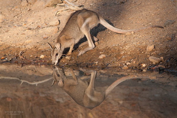 Agile Wallaby, Musgrave, QLD, Dec 2009-1