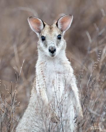 Agile Wallaby, Woodstock, QLD, Dec 2020-1