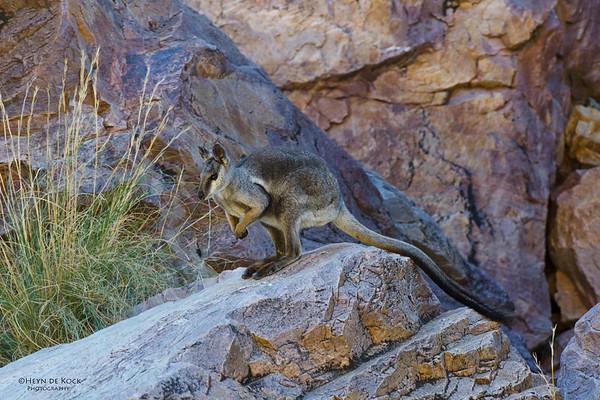 Black-footed Rock-Wallaby, Simpson's Gap, NT, Aus, Jun 2012-1