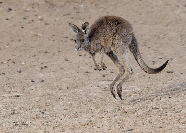 Eastern Grey Kangaroo, Bowra, Cunnamulla, QLD, Aus, Sept 2017-2