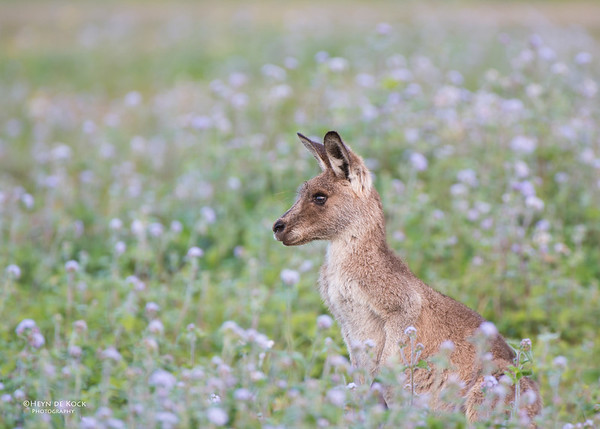 Eastern Grey-Kangaroo, Coombabah, QLD, Jun 2013