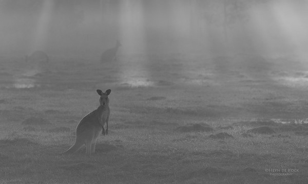 Eastern Grey Kangaroo, Coombabah Lakelands, QLD, Sept 2011-2