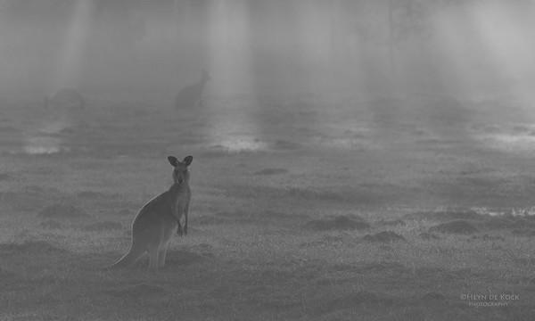 Eastern Grey Kangaroo, Coombabah Lakelands, QLD, Sept 2011-2