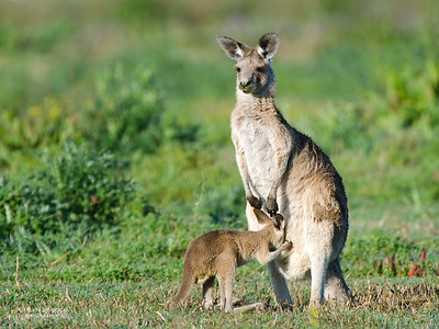 Eastern Grey Kangaroo, Coombabah Lakelands, QLD, Sept 2011