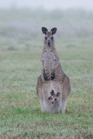 Eastern Grey-Kangaroo, Coombabah, QLD, Sep 2011-1