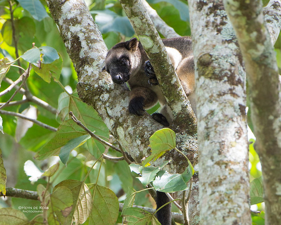 Lumholtz Tree Kangaroo, Malanda, QLD, Dec 2014-1a