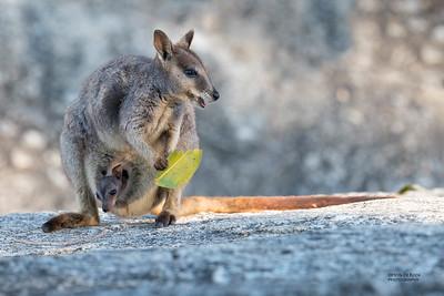 Mareeba Rock-wallaby, Mareeba, QLD, Aug 2020-16