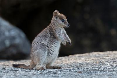 Mareeba Rock-wallaby, Mareeba, QLD, Aug 2020-2