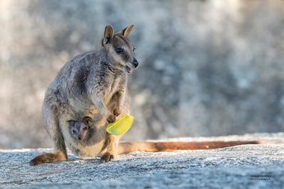 Mareeba Rock-wallaby, Mareeba, QLD, Aug 2020-20