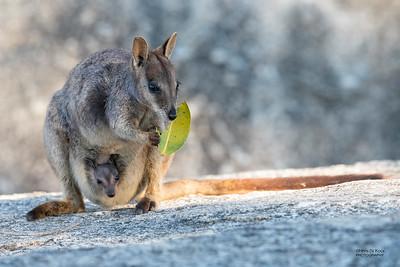 Mareeba Rock-wallaby, Mareeba, QLD, Aug 2020-18