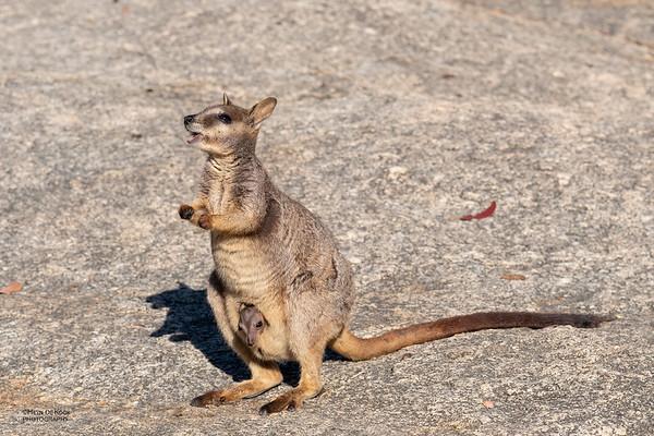 Mareeba Rock-wallaby, Mareeba, QLD, Aug 2020-5