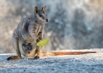 Mareeba Rock-wallaby, Mareeba, QLD, Aug 2020-19