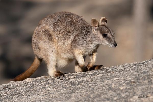 Mareeba Rock-wallaby, Mareeba, QLD, Aug 2020-7