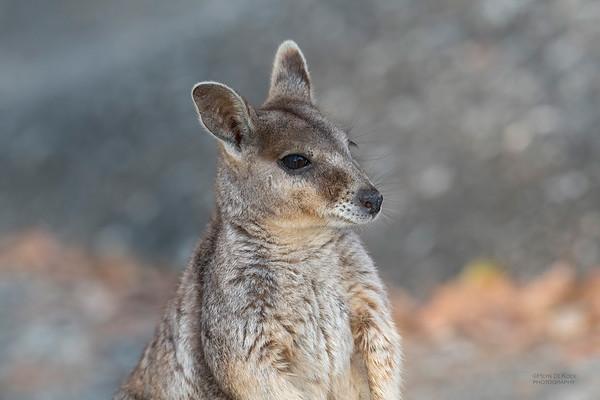 Mareeba Rock-wallaby, Mareeba, QLD, Aug 2020-26
