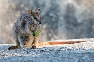 Mareeba Rock-wallaby, Mareeba, QLD, Aug 2020-17