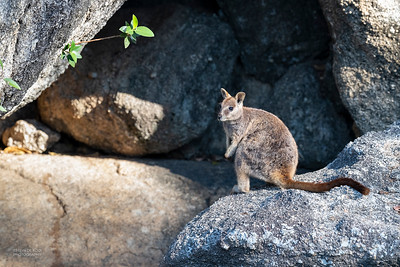 Mareeba Rock-wallaby, Mareeba, QLD, Aug 2020-1