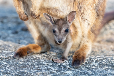 Mareeba Rock-wallaby, Mareeba, QLD, Aug 2020-3