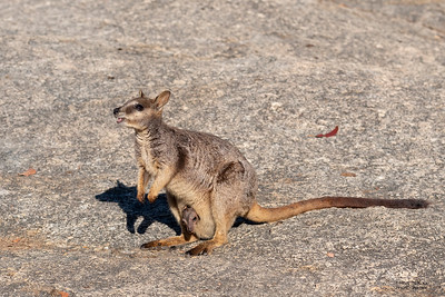 Mareeba Rock-wallaby, Mareeba, QLD, Aug 2020-4